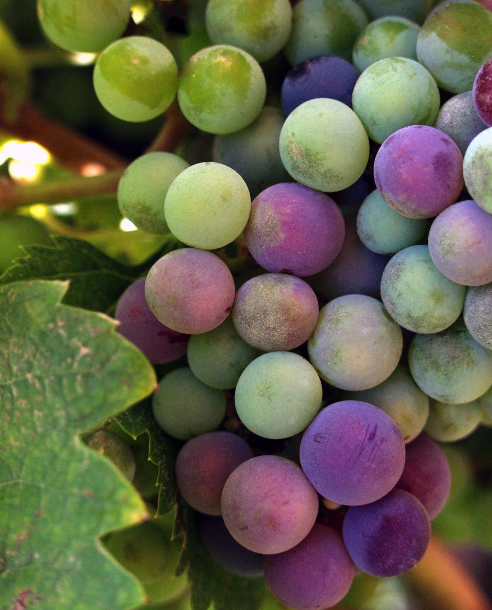 berry grape resveratrol memory loss