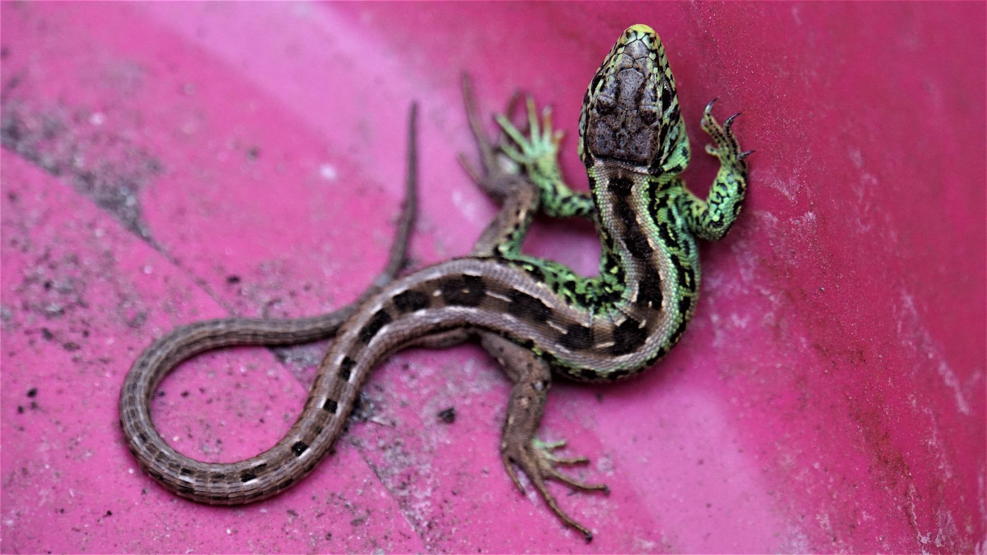 lizard triune brain myth